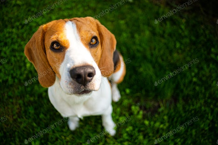 Smart cute beagle dog in park on green grass