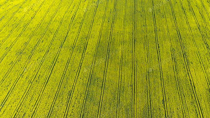 Rapeseed or Canola Plantation. Bio Fuel or Bio Oil Production. Aerial Drone View