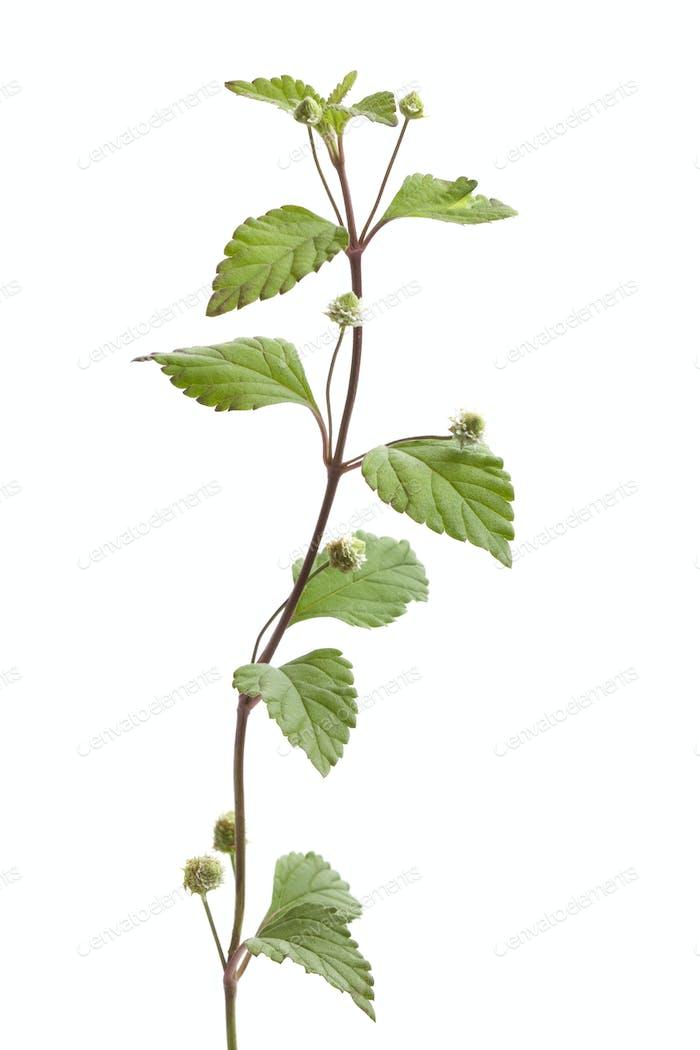 Flowering aztec sweet herb