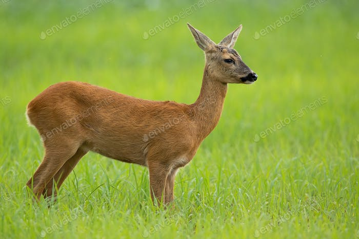 Roe deer doe in summer standing on a meadow with green grass looking away