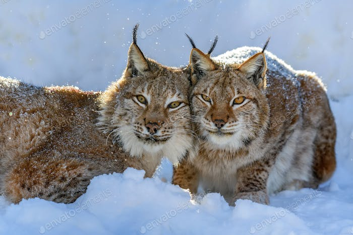 Two Lynx in the snow. Wildlife scene from winter nature