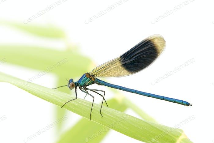 Banded Demoiselle - Calopteryx splendens