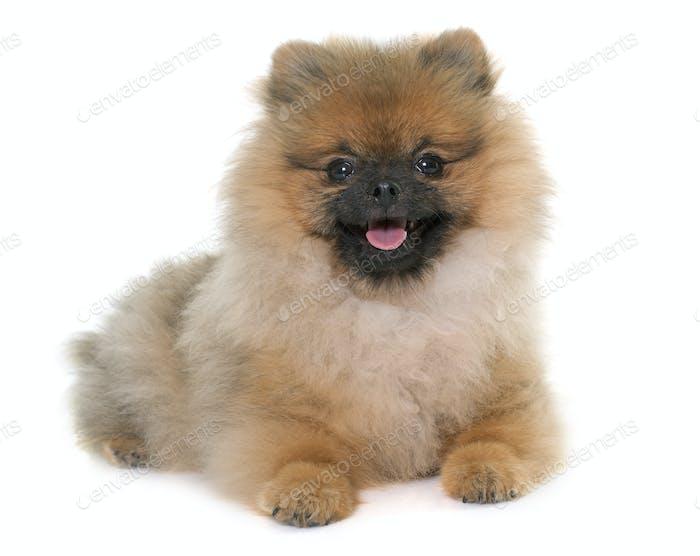 young pomeranian dog