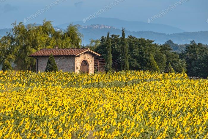 Haus im Feld der Sonnenblumen