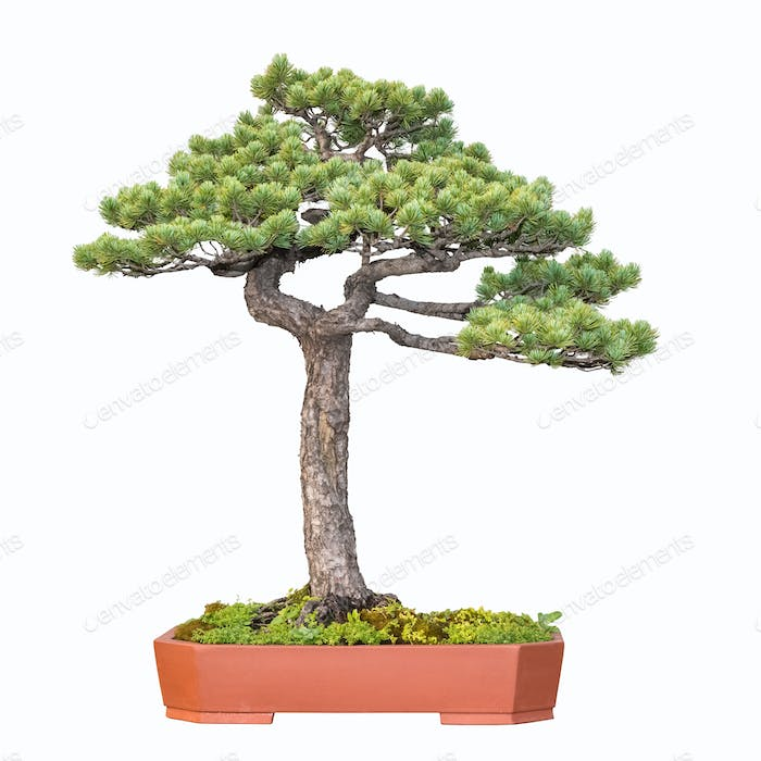 bonsai tree of pine