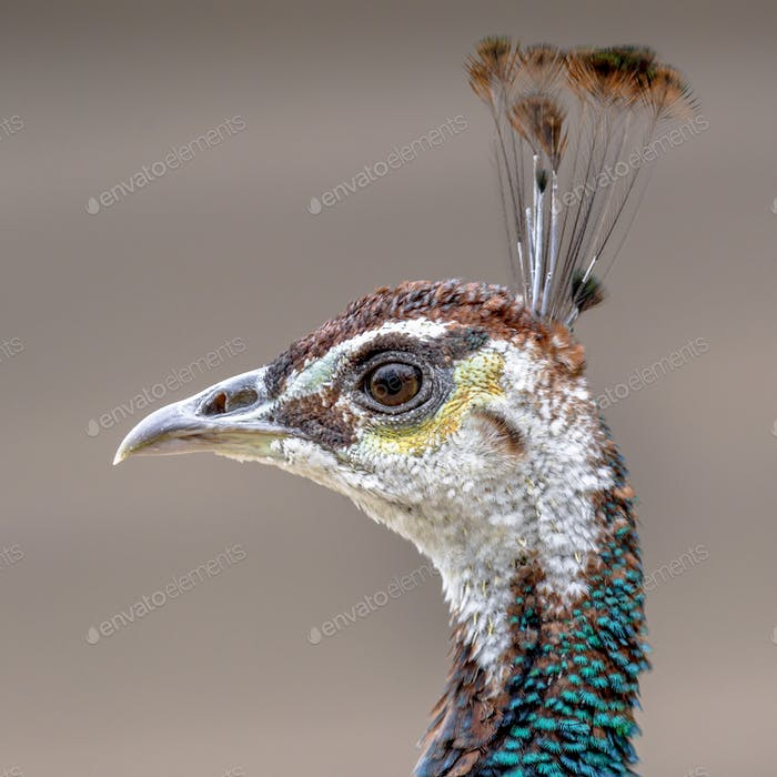 Portrait of female Peacock
