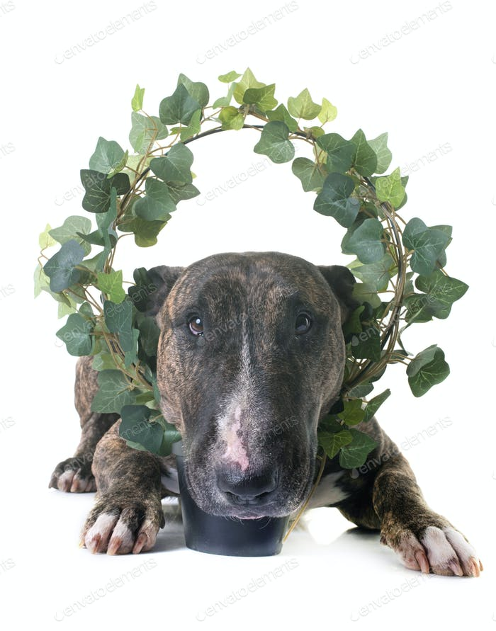brown bull terrier and ivy