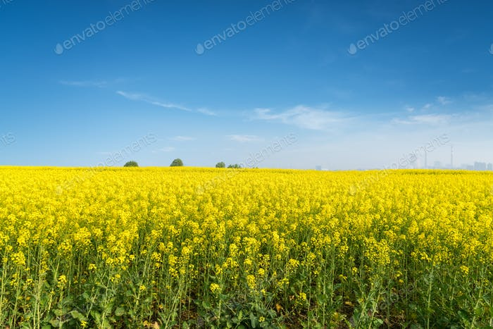 rapeseed flowers field in spring