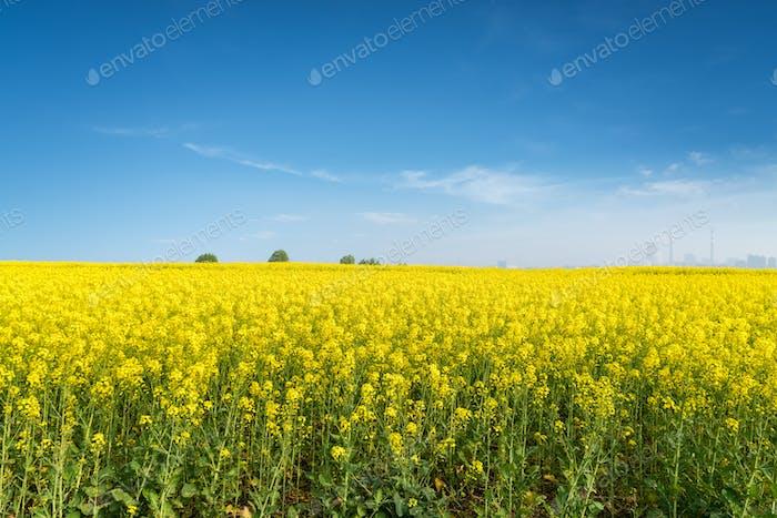 Rapsblumen Feld im Frühjahr
