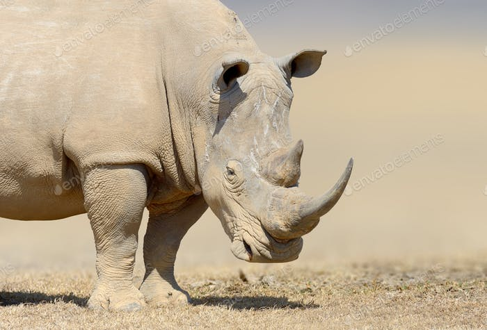 White rhinoceros in the nature habitat, Kenya, Africa