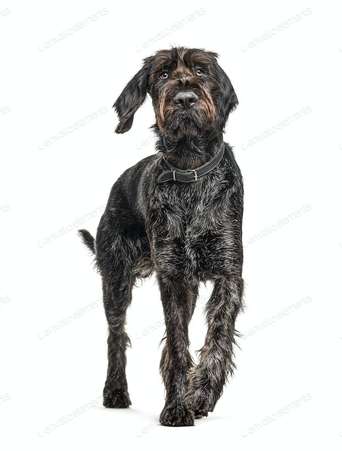 German Wirehaired Pointer,Korthals dog, isolated on white