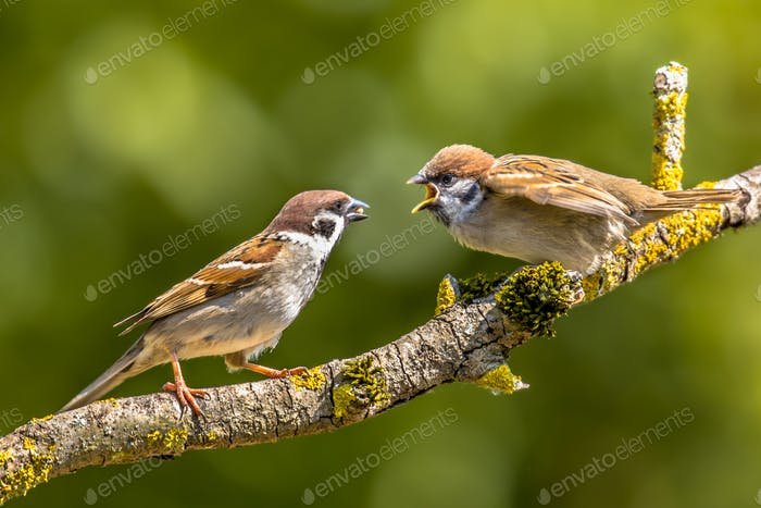 Eurasian tree sparrow with young
