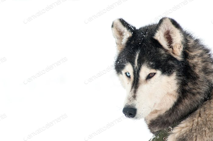 Portrait of a husky dog. Space for text