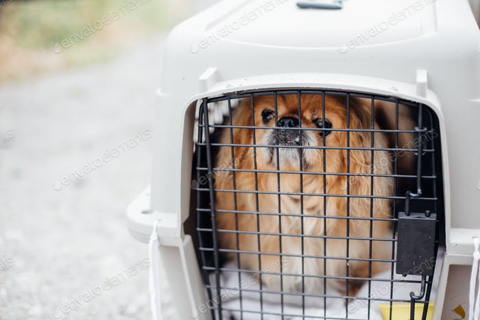 Old pekingese dog sitting in carrying cage at shelter