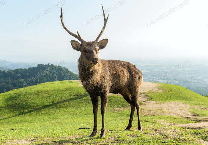 Red Stag Deer standing on mountain