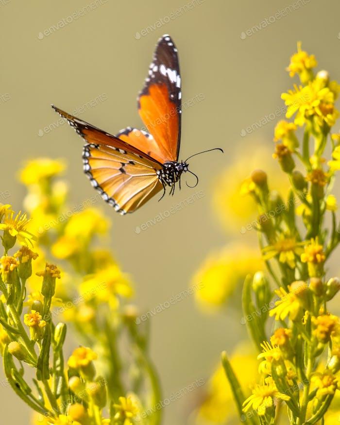 Fliegender Schmetterling Plain Tiger zwischen Blumen