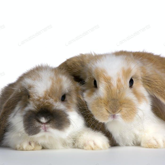 couple of Lop Rabbit