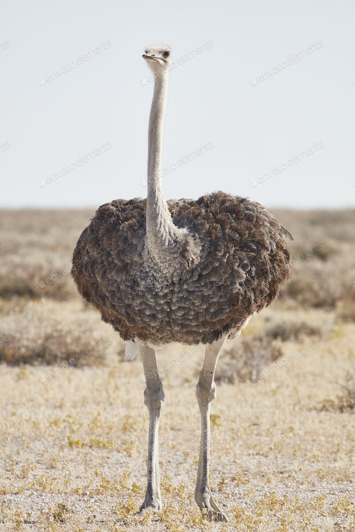 South African Ostrich, Struthio camelus australis, standing in grassland.