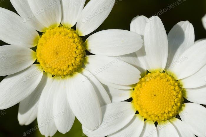 Chamomille flower field