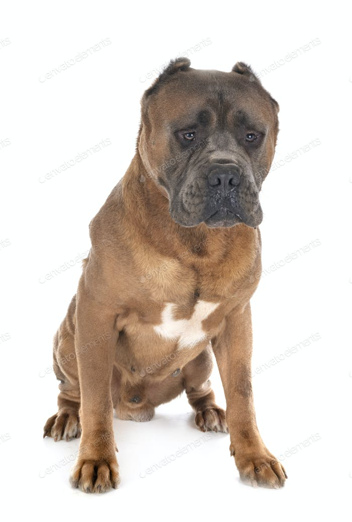 erwachsene cane corso