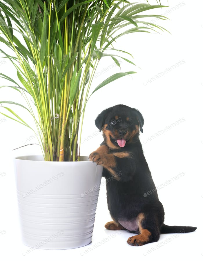puppy rottweiler and plant