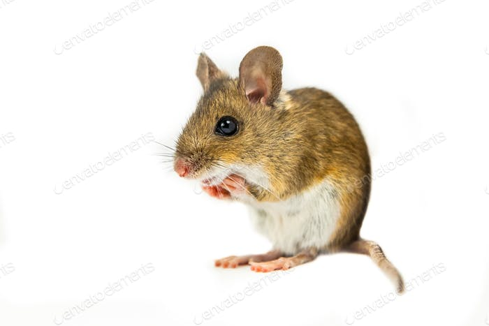 Field Mouse in begging position on white background