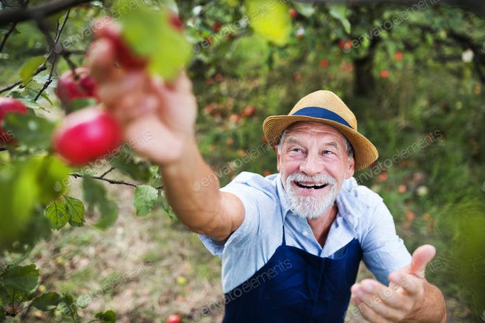 A senior man picking apples in orchard in autumn.