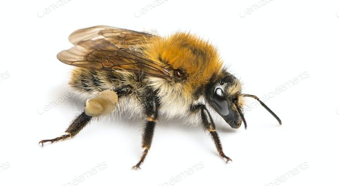 European honey bee, Apis mellifera, isolated on white