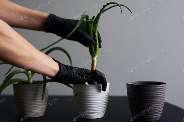 Planting an aloe  in a pot. Minimalism
