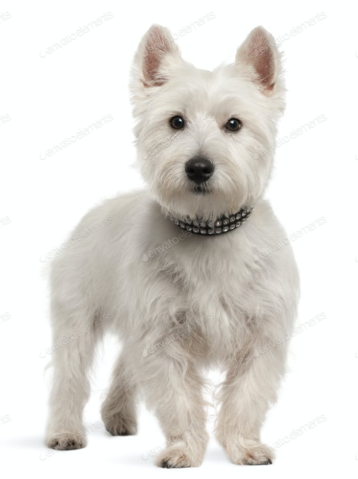 West Highland White Terrier (8 months old)