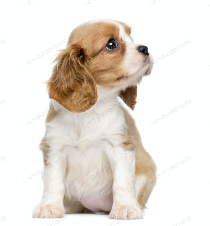Cavalier King Charles Puppy, 2 months old, sitting and looking up, isolated on white