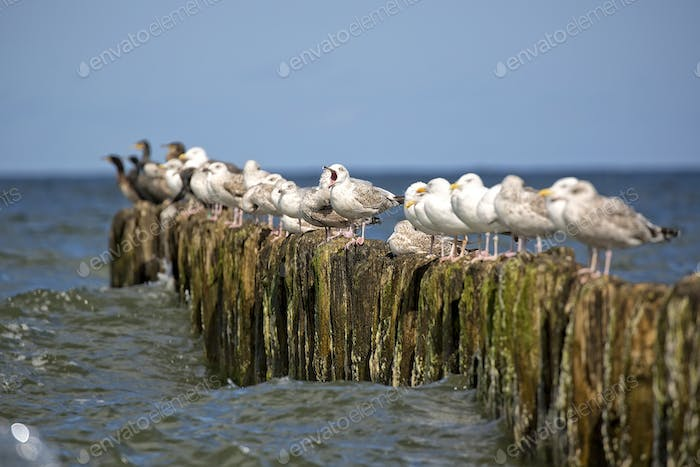 Herring Gulls on the sea