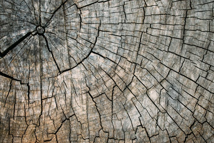 Old cracked tree stump texture background. Weathered wood texture with the cross section of a cut