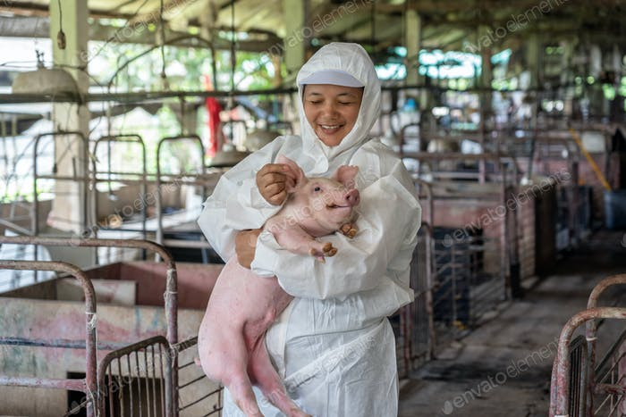 Asian veterinarian working and checking the healthy of young pig in hog farms