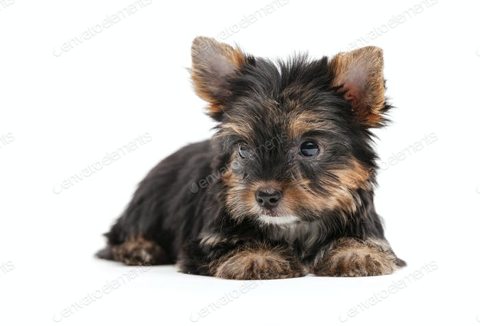 Yorkshire puppy over white background