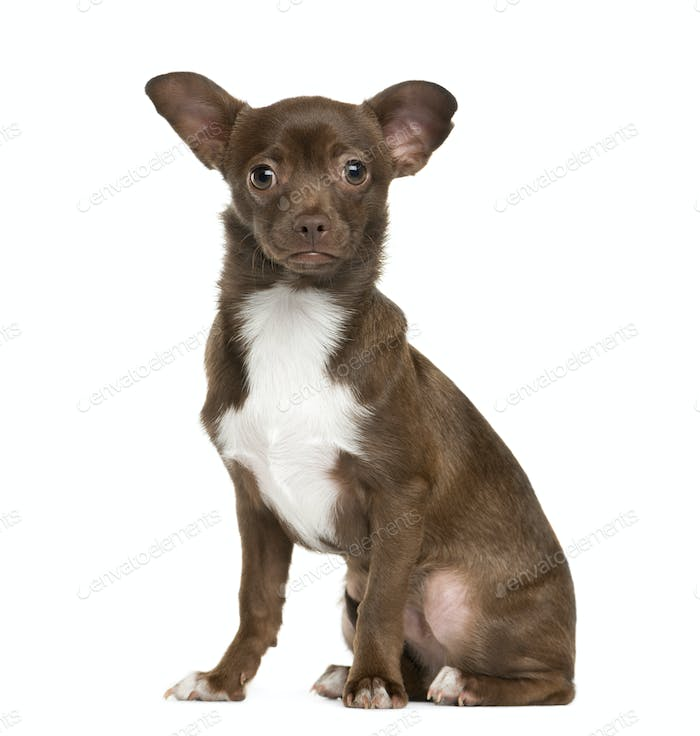 Sitting Brown Chihuahua in front, Dog, pet, cut out