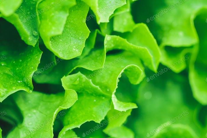 Makrofotografie von frischem nassen grünen Salat. Das Konzept eines gesunden Lebensstils.