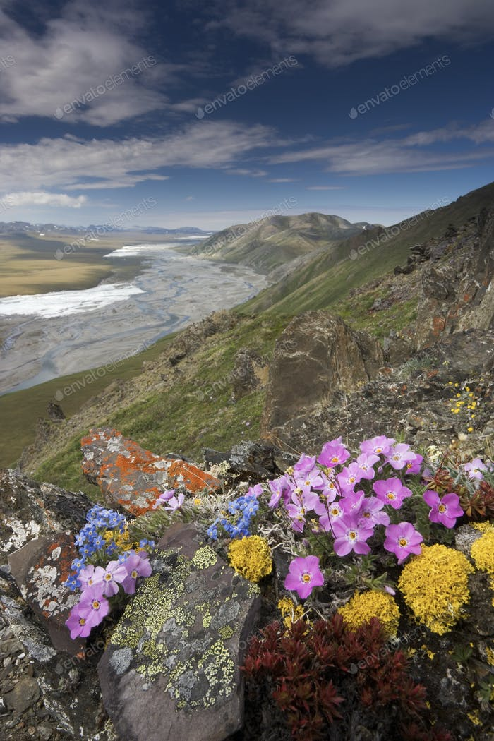 Wildflowers growing in the Arctic National Wildlife Refuge, Alaska, USA.