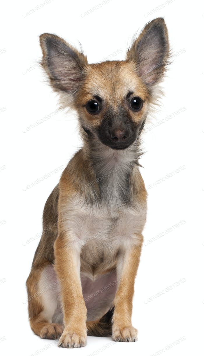 Chihuahua puppy, 3 months old, sitting in front of white background