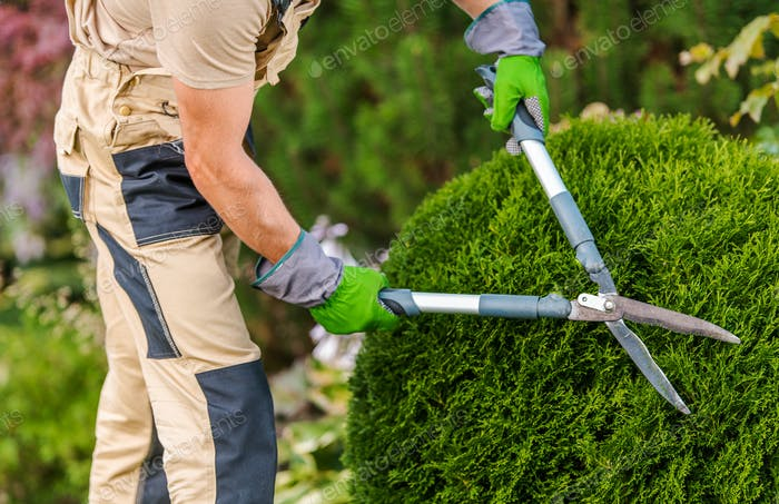 Gardener Pruning And Shaping Bushes.