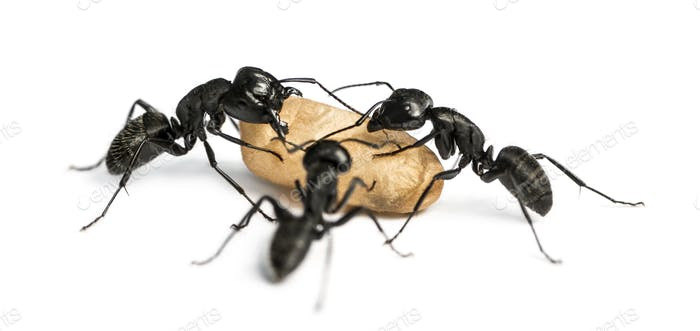 Three Carpenter ants, Camponotus vagus, carrying an egg