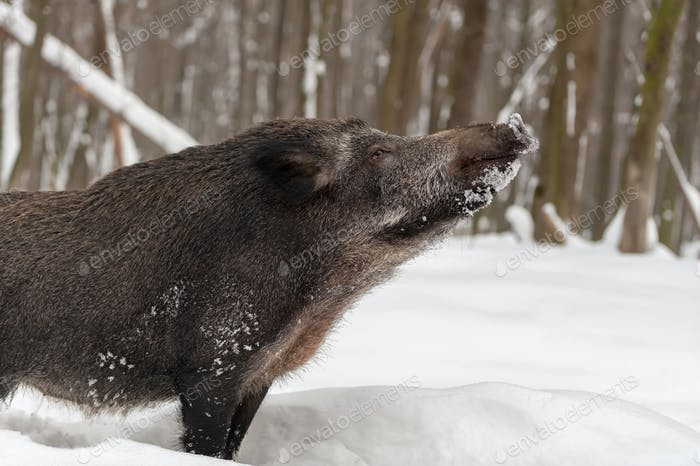 Wild boar in winter forest