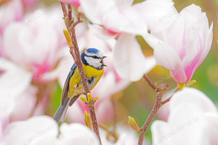 Blue tit bird in a Magnolia tree