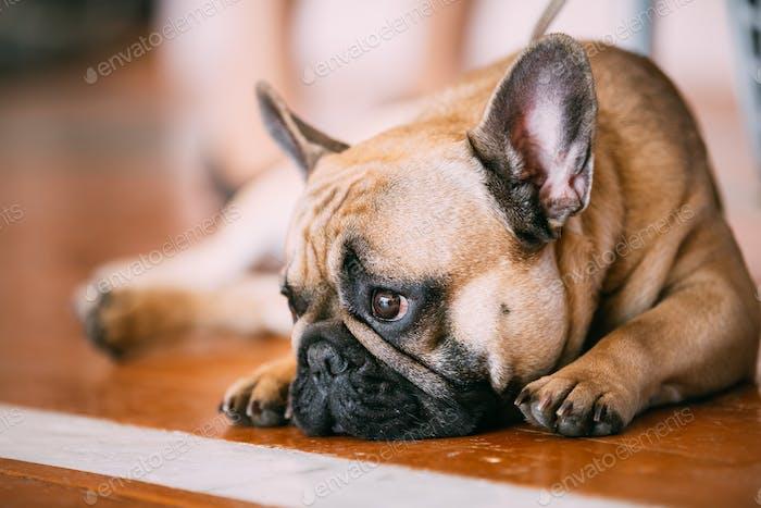 Sad Lovely Dog French Bulldog sitting on floor indoor