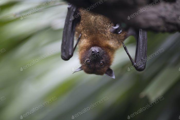 Nahaufnahme der braunen Fledermaus, die kopfüber von einem Baum hängen.