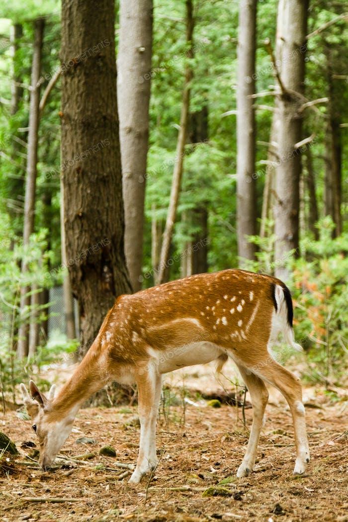 Fallow deer in forest