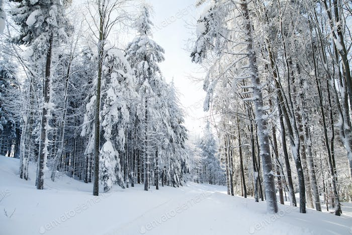 Snow-covered coniferous trees in forest in winter