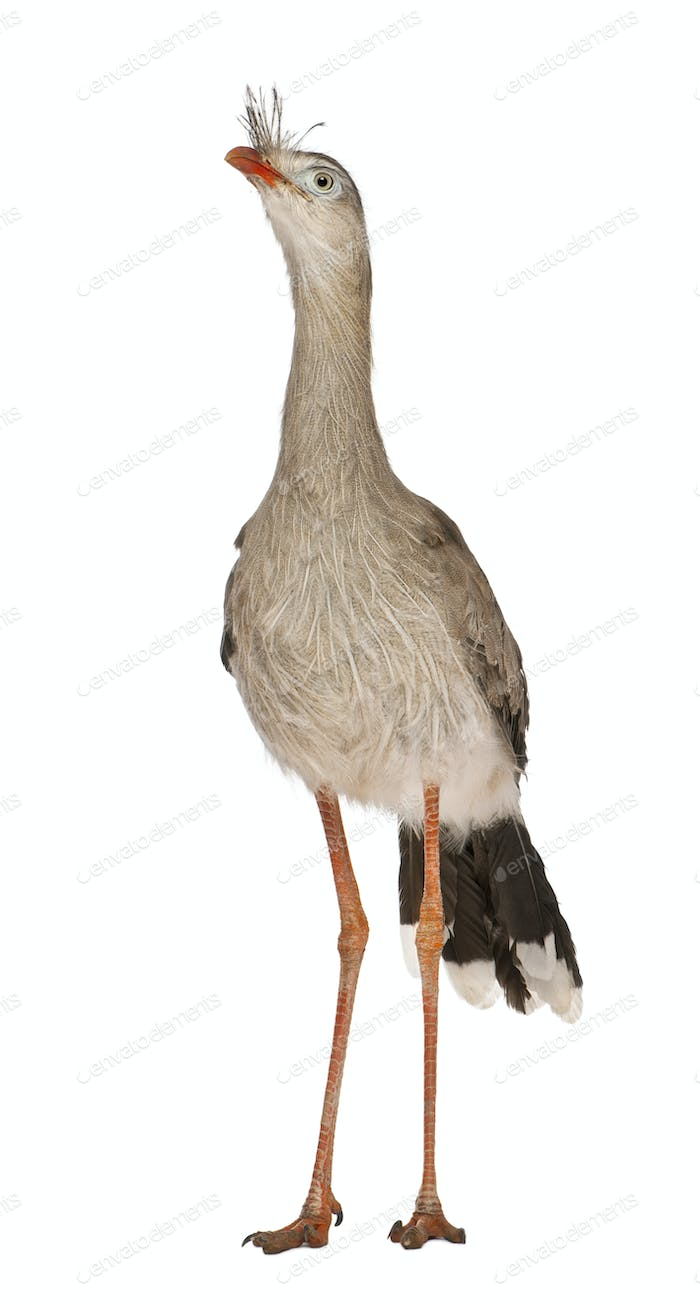 Red-legged Seriema or Crested Cariama, Cariama cristata, standing in front of white background