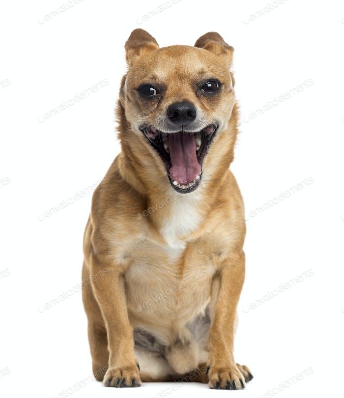 Chihuahua sitting, yawning, isolated on white