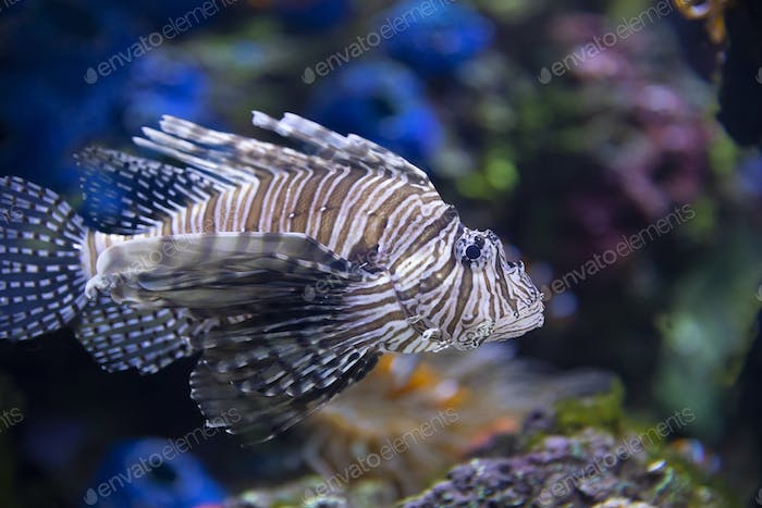 Closeup of a Lionfish in an Aquarium